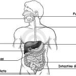 Sistema digestório exercícios com gabarito