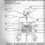 Sistema digestivo – Exercícios para imprimir